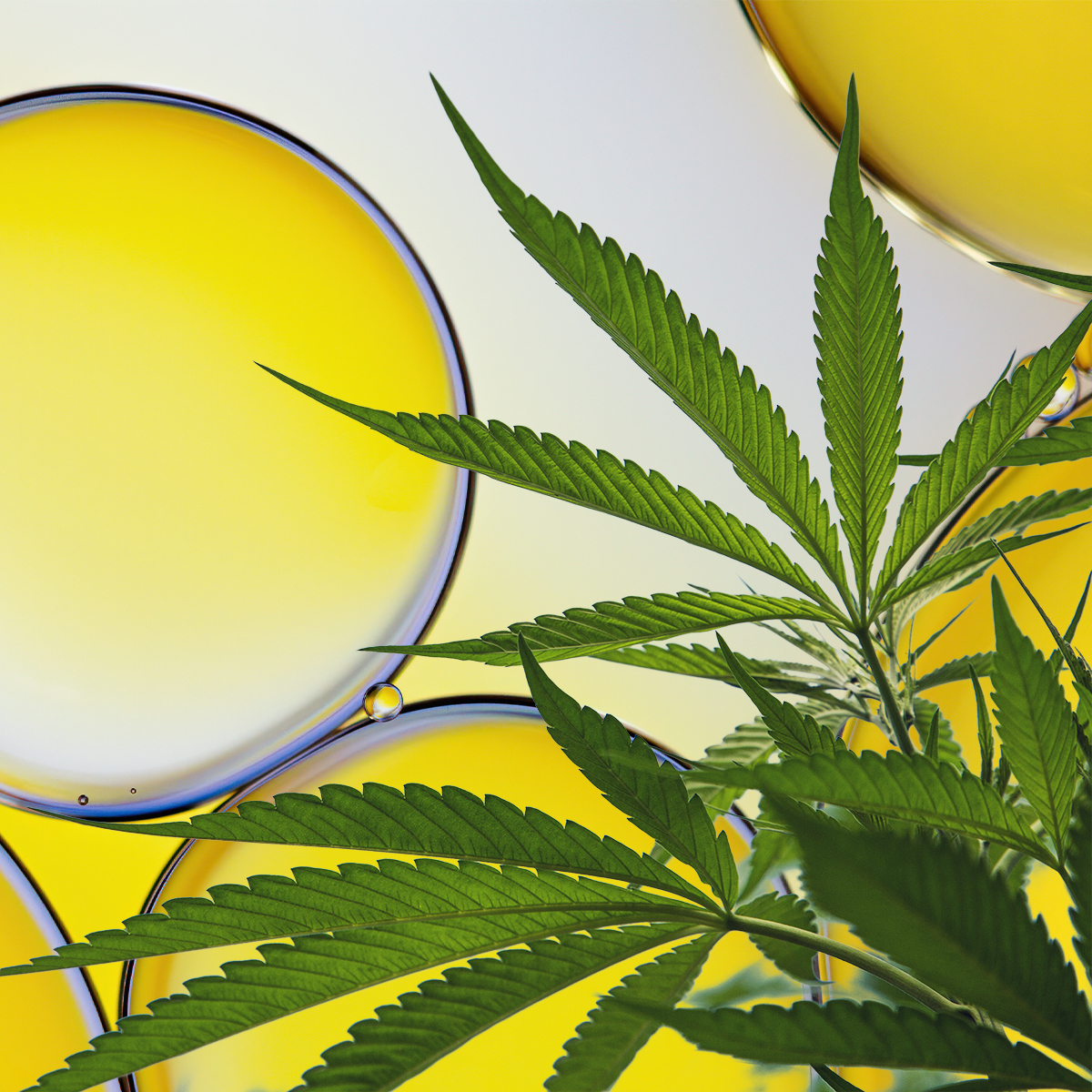 marijuana leaves on oil